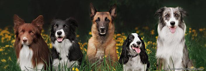 Hunde Brusnikaphoto Fotolia Com